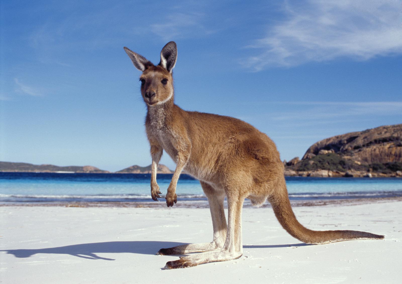 Kangaroo - Australia Bucket List