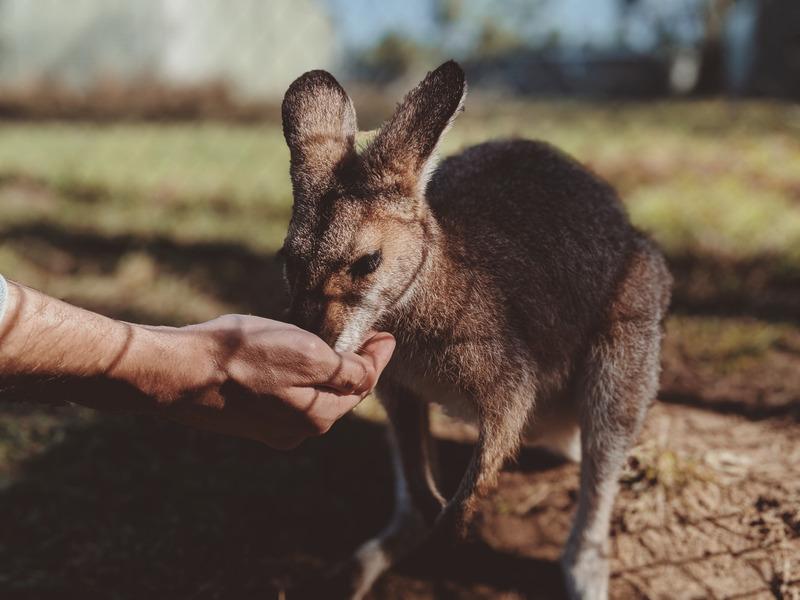 Feed a kangaroo - Australia Bucket List