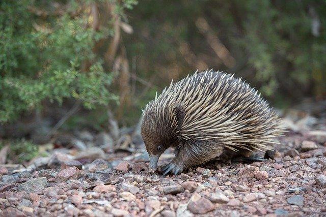 Echidna - Australia Bucket List