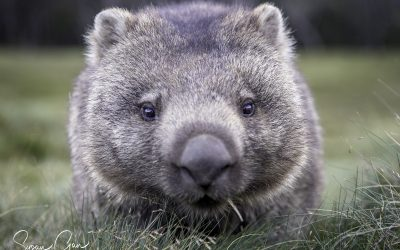 See wombats in Tasmania at Ronny Creek, Cradle Mountain